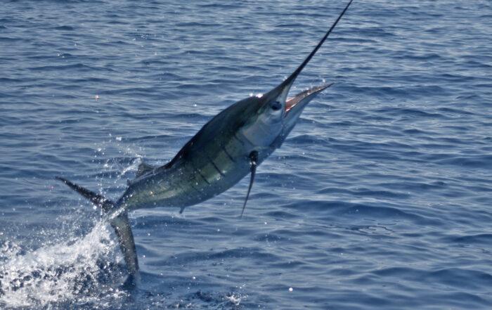 traina altura artificiali fisherman
